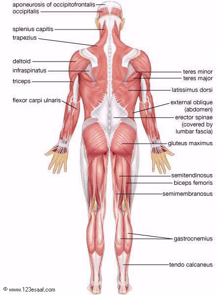 torso bone diagram wrist bone diagram
